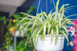 tanaman lily paris menjadi favorit selam pandemik