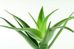 tanaman lidah buaya menjadi tanaman favorit selama pandemi