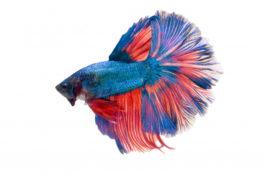 ketahui manfaat memeliharan ikan cupang