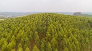 eucalyptus, tanaman herbal yang berkhasiat untuk meredakan masalah pernapasan dan kesehatan lainnya