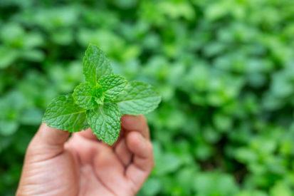 manfaat daun mint bagi kesehatan Anda
