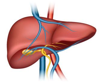 gambar organ hati liver yang sehat